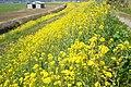 Brassica napus at levee ramp of Nishihira River.jpg