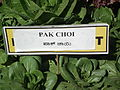 Brassica rapa subsp. chinensis - Pak choi from lalbagh 2288.JPG