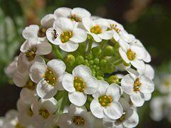 240px brassicaceae   lobularia maritima 2