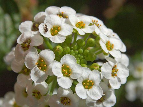500px brassicaceae   lobularia maritima 2