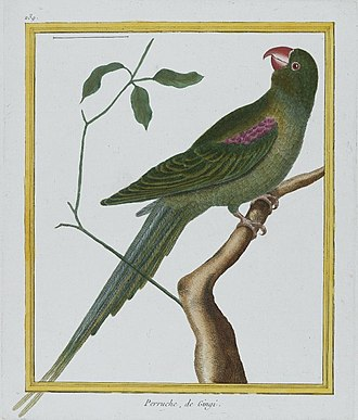 Alexandrine parakeet - Painting of an Alexandrine parakeet made between 1770 and 1786.
