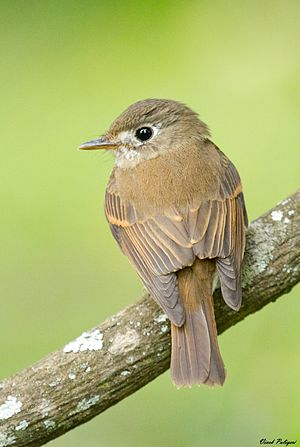 Brown-breasted Flycatcher (Muscicapa muttui).jpg