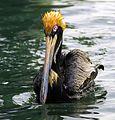Brown Pelican Punky 'Do - Flickr - Andrea Westmoreland.jpg
