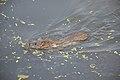 Brown Rat Swimming Across Santragachi Jheel - Howrah 2017-12-25 5624.JPG