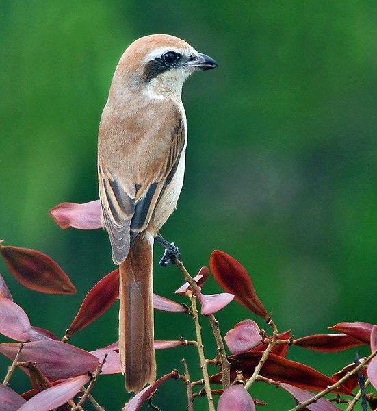 Brown Shrike (Lanius cristatus)- Immature in Kolkata I IMG 0147