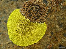 Brown Tile and Gold Cobblestone Lichens (5037667763).jpg