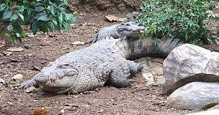 New Guinea crocodile species of reptile