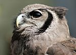 Bubo lacteus -Atlanta Zoo, Georgia, USA -upper body-8a.jpg