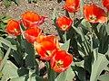 Budai Arborétum. Alsó kert. Bíbor kasvirág vagy lángvörös kasvirág (Echinacea purpurea 'Colorbust orange'). - Budapest.JPG