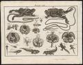 Bufo fuscus - 1700-1880 - Print - Iconographia Zoologica - Special Collections University of Amsterdam - UBA01 IZ11500249.tif