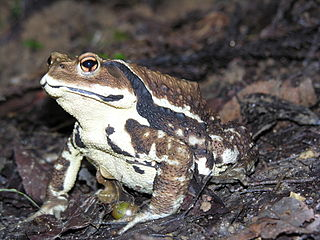 Japanese common toad species of amphibian