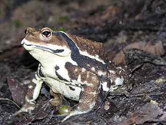 Japanese common toad - Image: Bufo japonicus DSCN9873