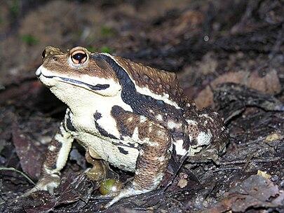 Японская жаба