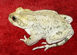 Iranian earless toad species of Amphibia