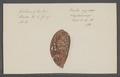 Bulla cypraea - - Print - Iconographia Zoologica - Special Collections University of Amsterdam - UBAINV0274 088 02 0005.tif