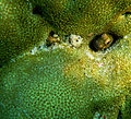 BulletHead RockSkipper BIGBROW BLENNIELLA 1.jpg