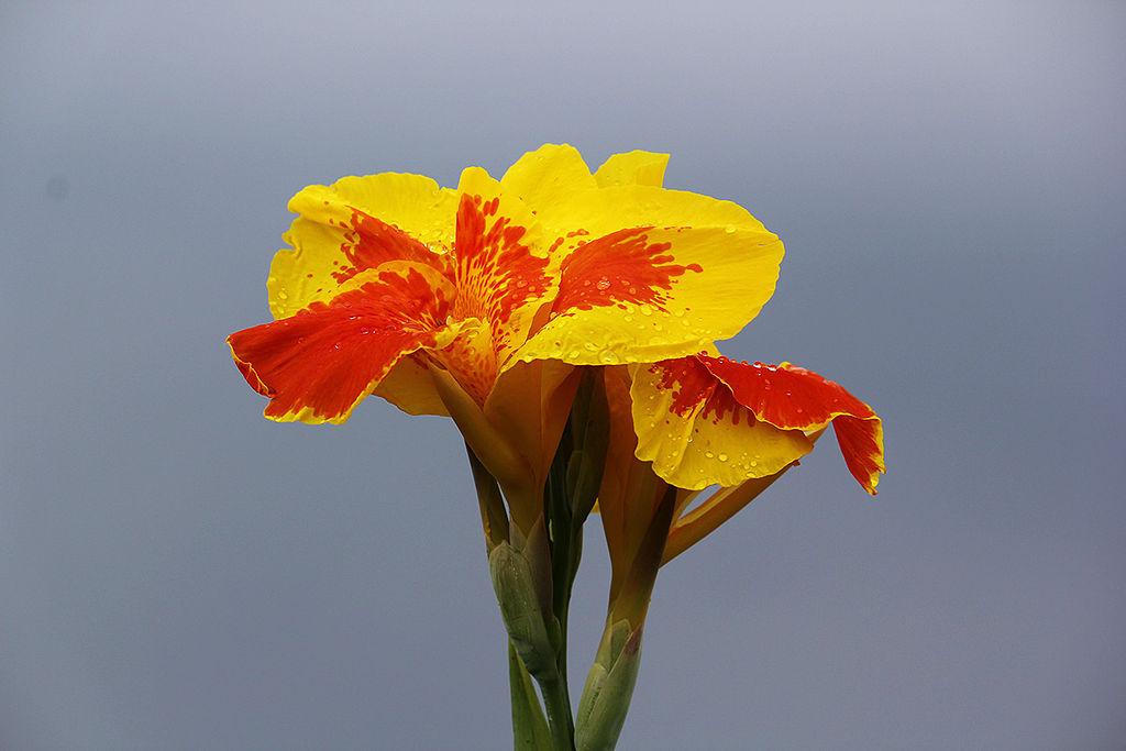 Tugas simetri bunga setangkup tunggal monosimetris atau zygomorphus jika pada bunga hanya dapat dibaut satu bidang simetri saja yang membagi bunga tadi menjadi dua bagian ccuart Image collections
