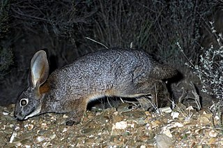 Riverine rabbit species of mammal