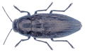 Buprestis haemorrhoidalis Herbst, 1780.png