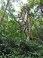 Butea parviflora-1-kottoor-kerala-India.jpg
