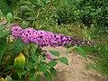 Butterfly-bush (Buddleja davidii) flower spike (4862533701).jpg