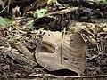 Butterfly from Gudalur, Nilgiris, Tamil Nadu DSC00630.JPG