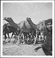 CH-NB - Irak- Kamele - Annemarie Schwarzenbach - SLA-Schwarzenbach-A-5-03-073.jpg