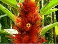 CR548 plant Costa Rica.JPG