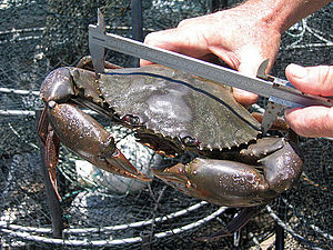 Scylla serrata - Image: CSIRO Science Image 10696 Mud crabs are caught measured tagged and released as part of the research into the effectiveness of green zones in Moreton Bay