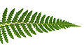 CSIRO ScienceImage 3465 Fern frond.jpg