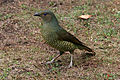 CSIRO ScienceImage 3574 Satin Bowerbird.jpg