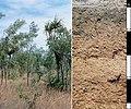 CSIRO ScienceImage 4442 Brown Kandosol soil profile in the Darwin district Northern Territory.jpg