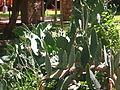 Cactus in Del Rio, TX Picture 1794.jpg