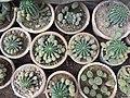 Cactus ss.jpg