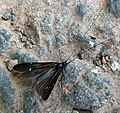 Caddis Fly. Athripsodes bilineatus. (5234083471).jpg
