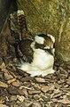 Cairns Female Kookaburra nesting-01 (23401557312).jpg