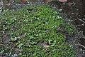 Calliergon cordifolium (b, 143546-474635) 6376.JPG
