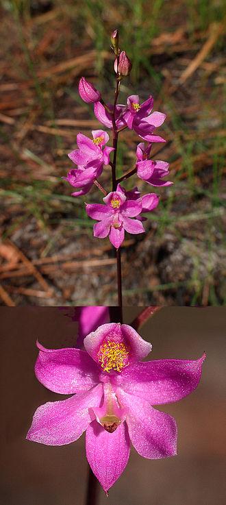 Calopogon multiflorus - Calopogon multiflorus flowers