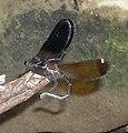 Calopteryx haemorrhoidalis copula.jpg