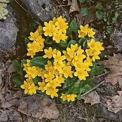 Caltha palustris (13082613485).jpg