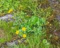 Caltha palustris in Avoriaz (3).jpg
