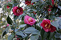 Camellia japonica flowers.jpg