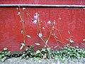 Campanula rapunculoides (4997359520).jpg