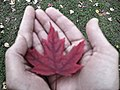Canadiana- a maple leaf (30227328736).jpg