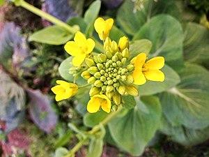 Canola - Canola flower