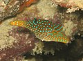 Canthigaster papua.jpg
