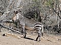 Cape Mountain Zebra (Equus zebra zebra) stallion (32191344210).jpg
