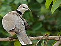 Cape Turtle-Dove (Streptopelia capicola) (6046155042).jpg