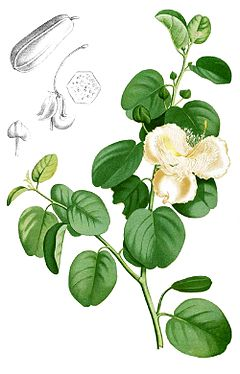 Capparis spinosa Blanco1.179-cropped.jpg