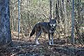 Captive Male at Sandy Ridge, ARNWR (6261100788).jpg